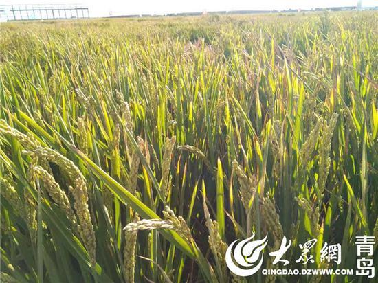 海水稻试种亩产不到300公斤 专家:次年会更高