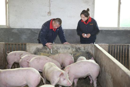 【百姓故事】月薪上万白领贷款回乡养猪 受国家领导人接见