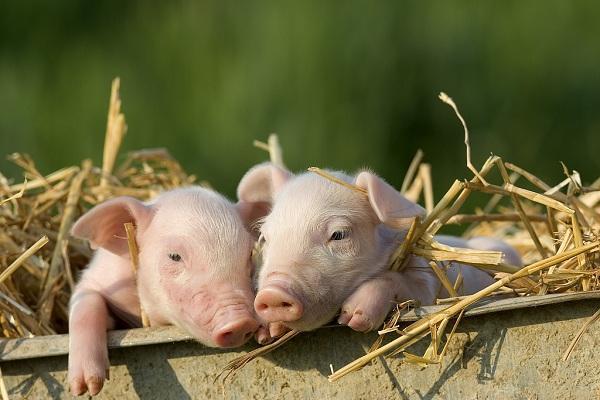 养猪补助发给了连猪圈都没有的人 四川3干部被处分