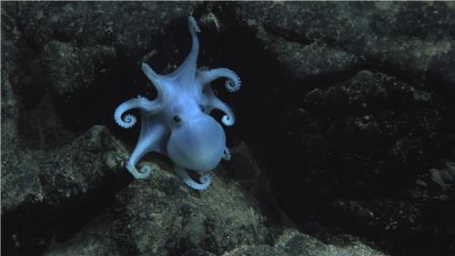 因为智能机所需金属 许多稀有深海生物将死去的照片 - 3