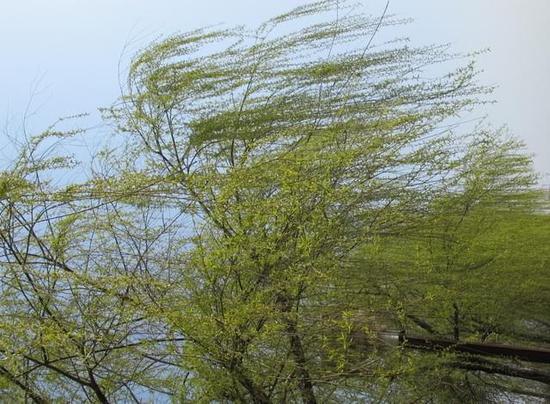 垂柳 柳树 树 550_404