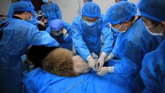 """又有大熊猫被""""脱裤子""""!它曾被拳王认养 妈妈是网红"""