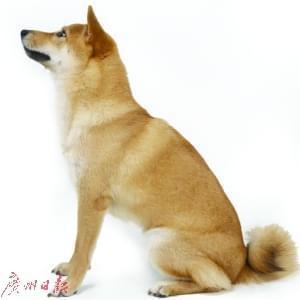 """中华田园犬是""""祖先留给我们的最好的狗""""吗?"""