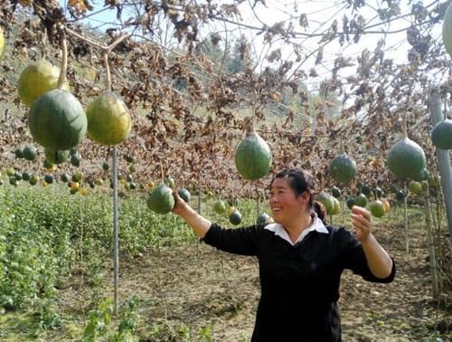 黔江区金洞乡:瓜蒌喜获丰收