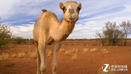 在沙漠戈壁环境中 骆驼可以活的很好 人估计一天都熬不过去 所以,小伙伴们,不要再说自己自己热的像条狗了,大部分动物们在夏天都有自己的避暑方法,而且还都过的不错,只有人类在面对酷热天气的时候才会显得如此脆弱。