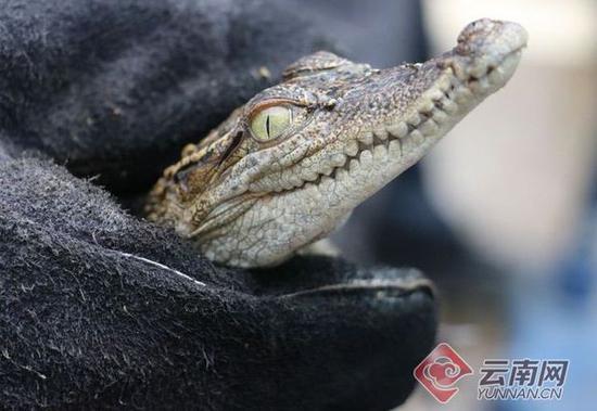 云南一河中惊现2条鳄鱼 警方:疑似被人放生或遗弃