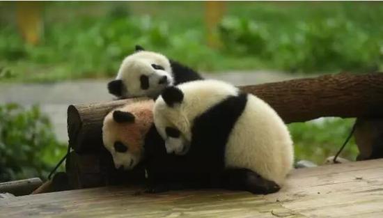 18日,经网上征名和投票,重庆杨家坪动物园的3只大熊猫幼仔终于正式