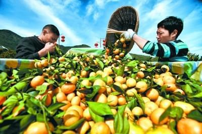"""柑橘 水果中的""""名门望族"""""""