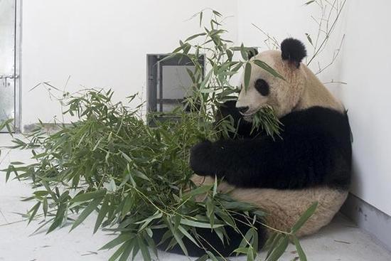 上海野生动物园第一时间与中国大熊猫