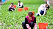 内蒙古:紫苏叶进入采摘高峰期