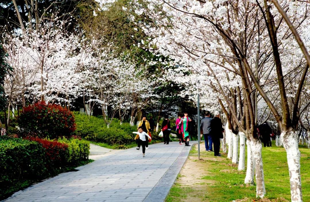 荆州迎樱花季:现在可观早樱 4月再赏老南门晚樱