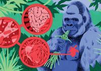 """""""病从口入"""":圈养大猩猩易患心脏病?得研究吃了啥"""