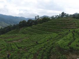 品昕——做良心保证的漳平水仙茶
