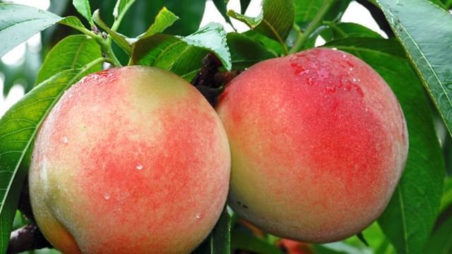 有了农村电商 奉化水蜜桃最远卖到了西藏、新疆