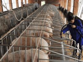 8月份河北省生猪和仔猪价格小幅上涨