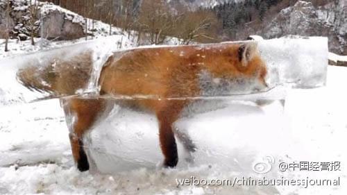 狐狸掉进河里被冻成冰雕