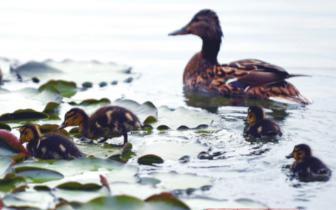 乌鲁木齐市南湖睡莲静静开 野鸭嬉戏水里游