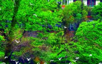 桂林漓江市区段成为白鹭栖息地 逐渐形成群落