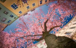 这里的樱花绚烂到你都睁不开眼!