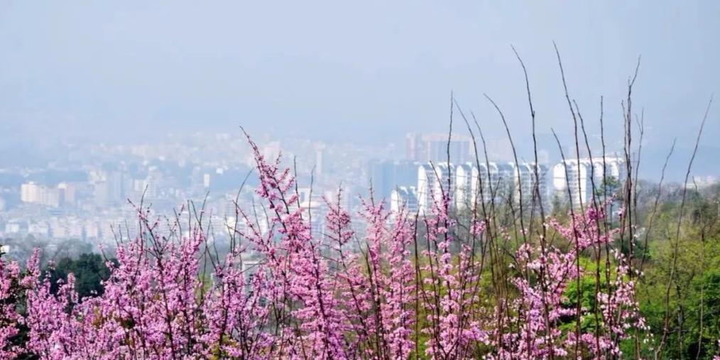 春暖花开,到连州巾峰陈屋村赏紫荆花