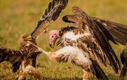 肯尼亚草原上演鹰鹫大战