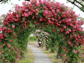 京滨玫瑰庄园明日开园 占地1535亩总投资2亿