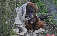 英动物园迎苏门答腊猩猩宝宝 萌态十足