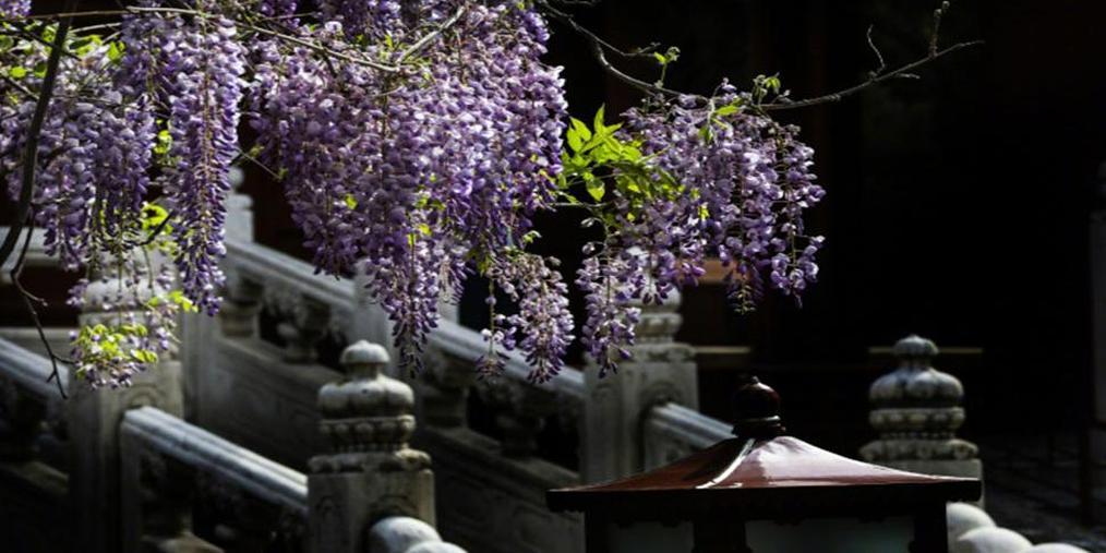 太美了!北京孔庙紫藤花盛开惹人醉