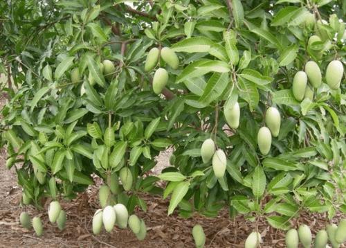 4颗芒果下肚红斑块好几处 易过敏人群慎食芒果