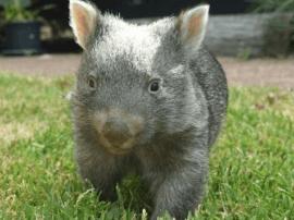 澳大利亚一袋熊孤儿举止可爱暖人心