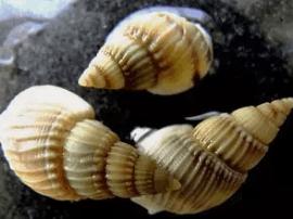 食安办下发紧急通知 织纹螺有毒不要食用