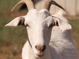 """山羊啃豆苗""""被废武功"""" 两农户开战民警忙调解"""