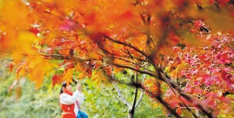 赏枫正当时 岳麓山红叶今年提前20天变红