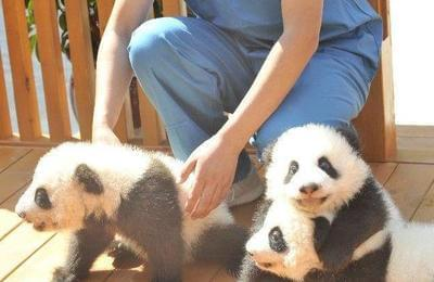 陕西三只新生秦岭大熊猫公开征名