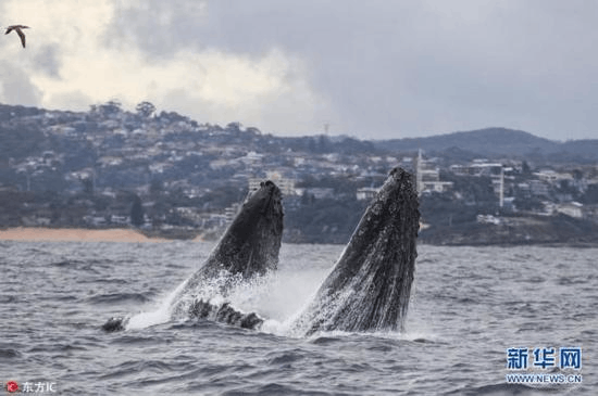 """摄影师悉尼海滩捕捉两座头鲸海面跳""""双人舞"""""""