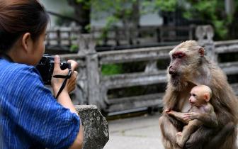 福建省武夷山:猕猴与人和谐相处