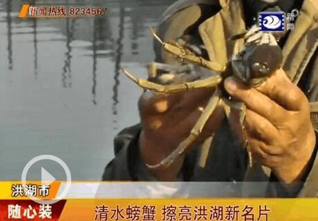 """""""清水螃蟹""""名头越来越响 成为洪湖又一张新名片"""