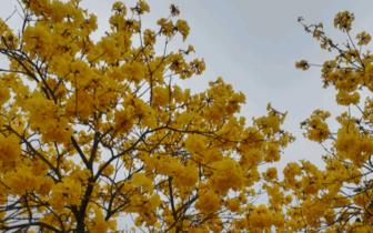 清新三坑湴塘黄花风铃木盛放美如画