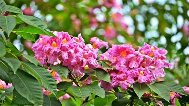 海口市振兴路风铃木盛开 粉色花朵醉行人