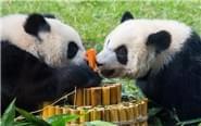 大熊猫双胞胎喜迎一岁生日