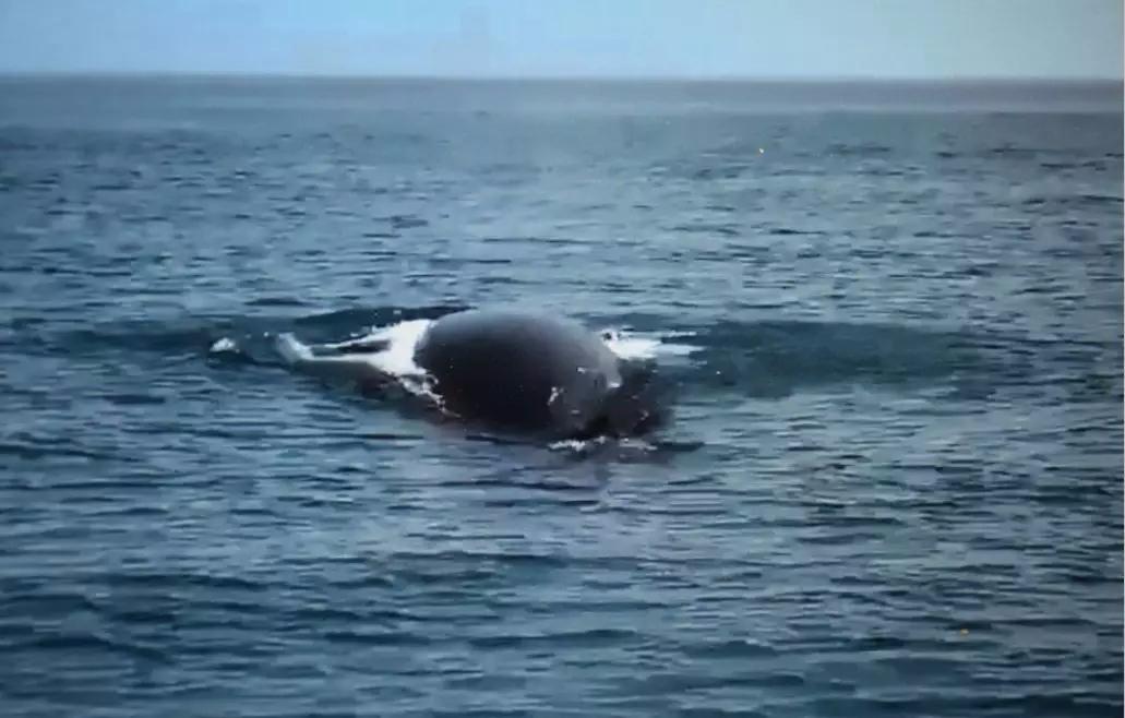 游客频频示爱追逐观赏 鲸鱼疲于奔波变惊鱼