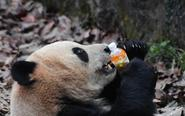 大熊猫撕咬落入馆内饮料瓶