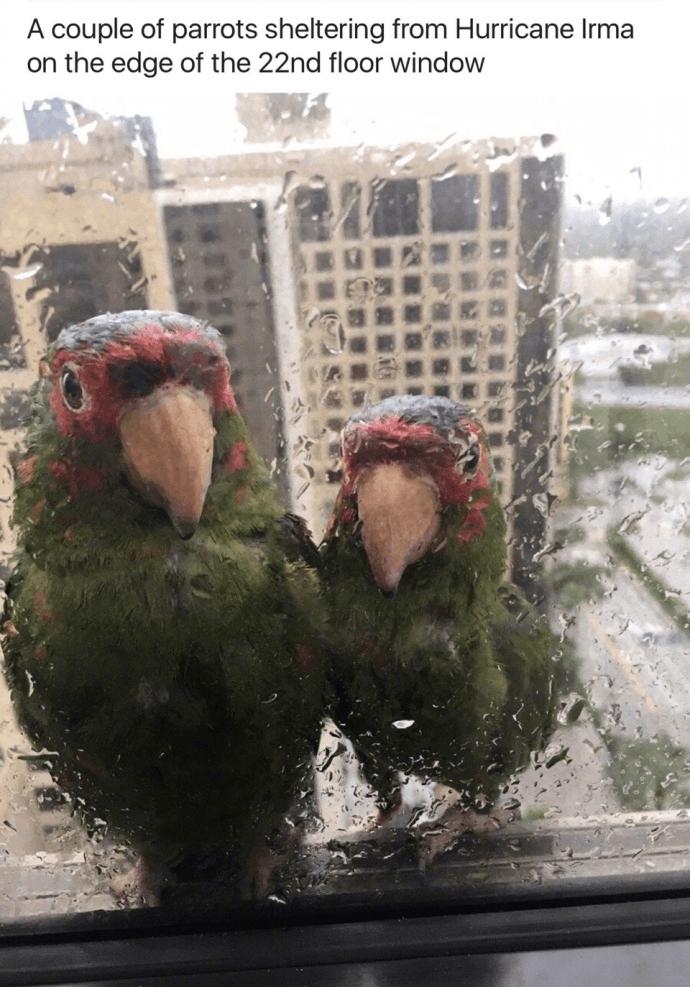 飓风厄玛来袭,两只鹦鹉在22楼窗边躲雨。