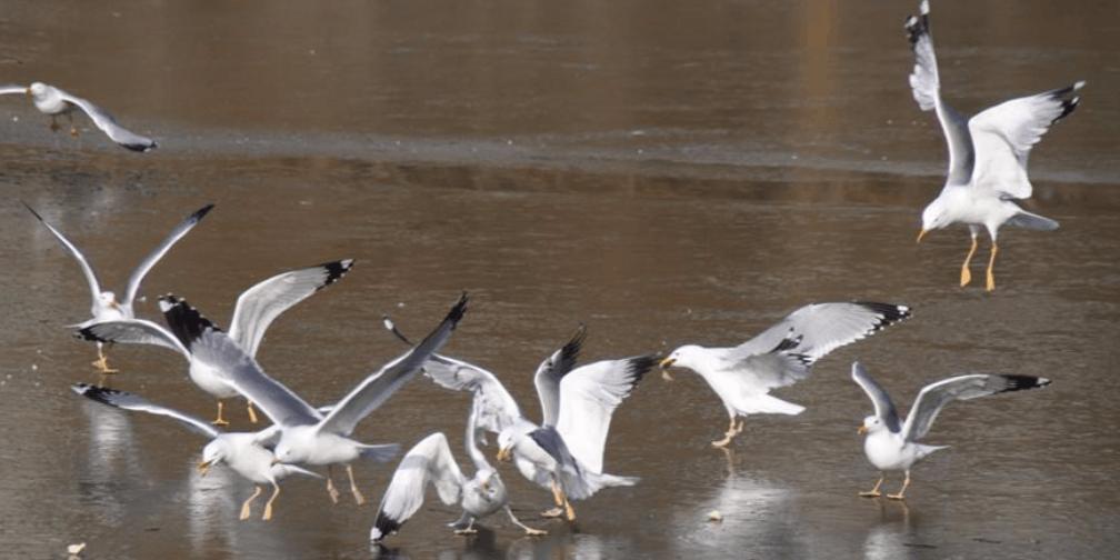 冬禽鸟在新疆库尔勒孔雀河演绎醉美冬韵