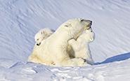 北极熊母子雪地撒欢显温情