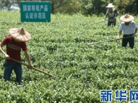 """福建安溪茶:""""一带一路""""上飘香的中国符号"""