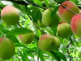 美味九仙桃、鹰嘴蜜桃在翁源,7月10日即将上市