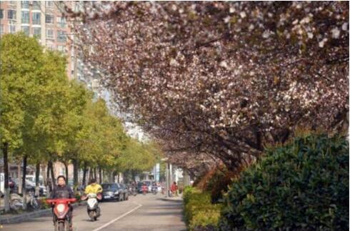荆州街头红叶李竞相开花 绵延3公里的浪漫惹人醉