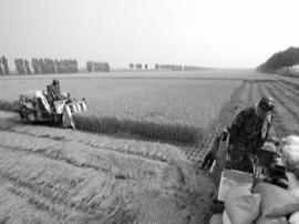 丰收!唐山曹妃甸区水稻收割陆续展开