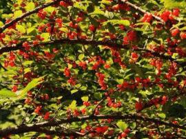太原东山樱桃和杏丰收 可进园免费品尝